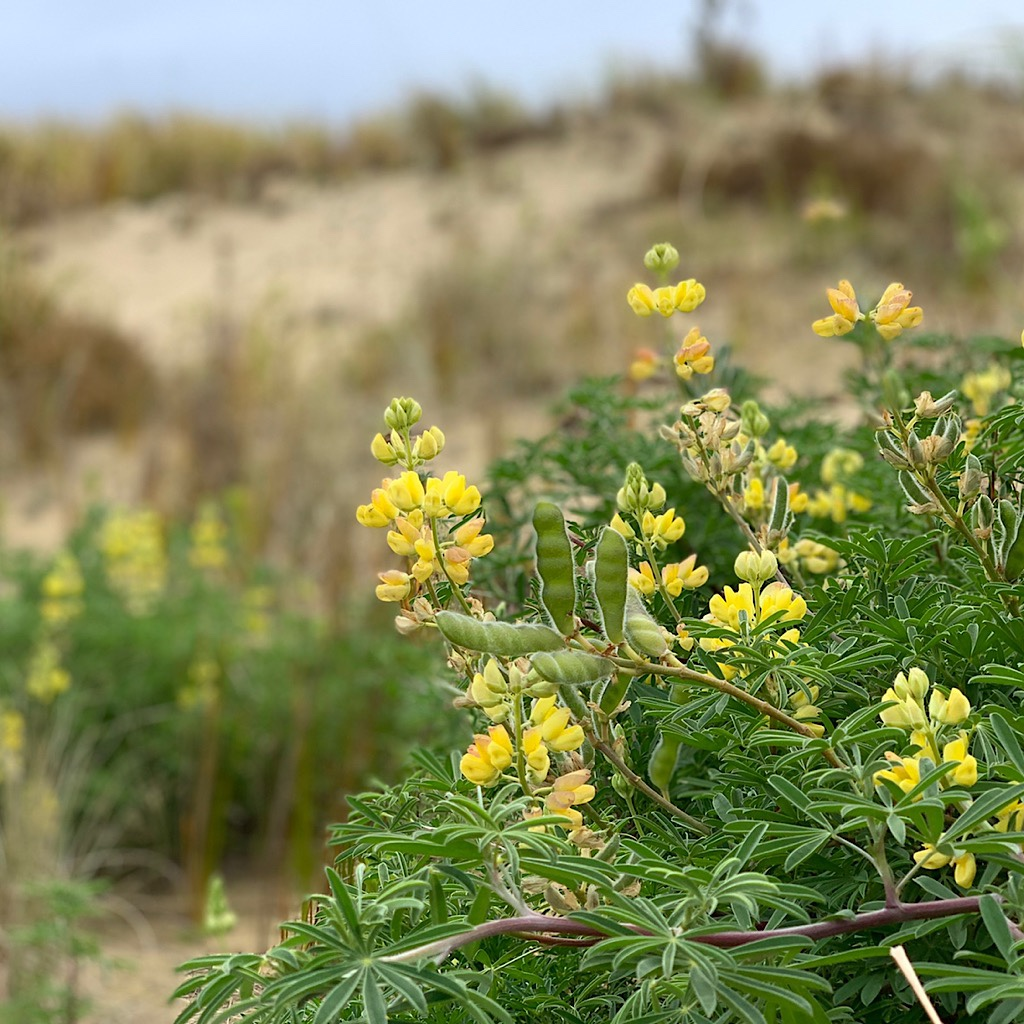 Lupine thrives on the sand dunes.