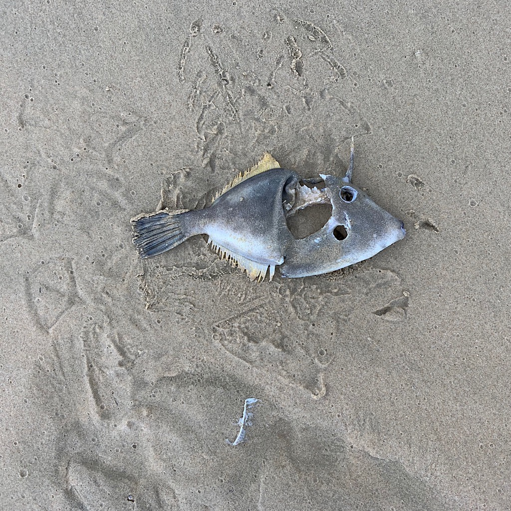 A fish carcass surrounded by tracks from his tormenters.