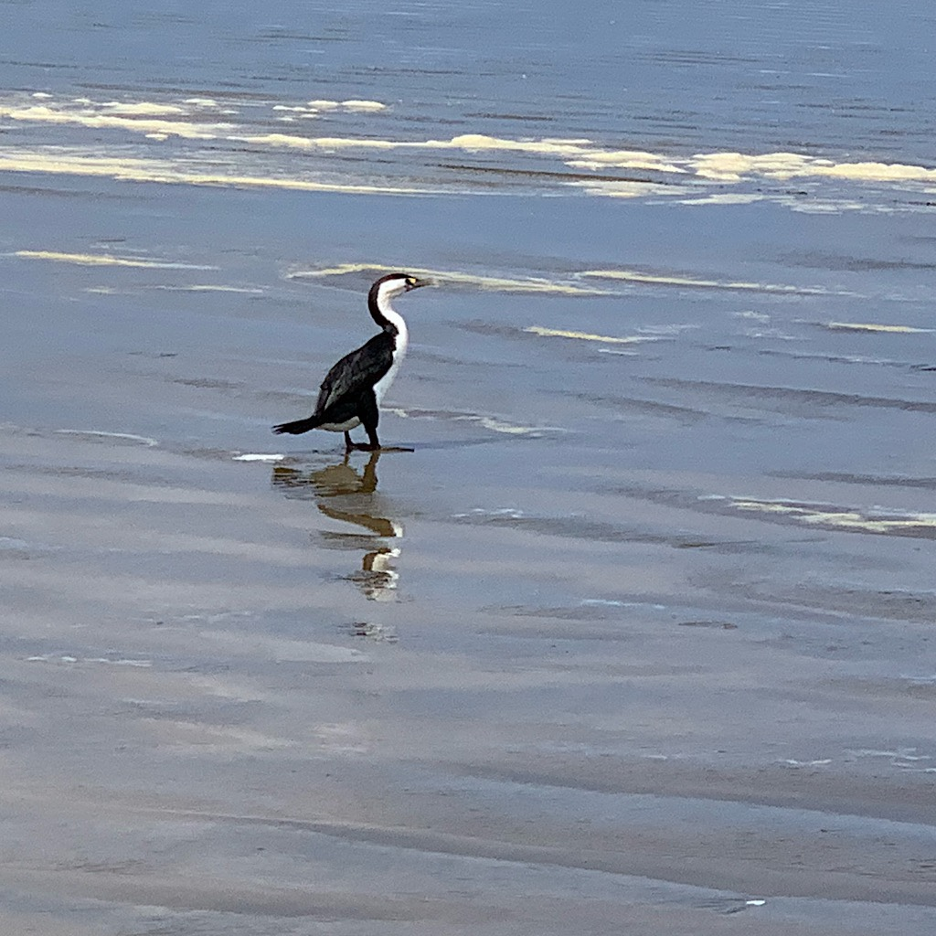 A shag on the hunt at the edge of the surf.