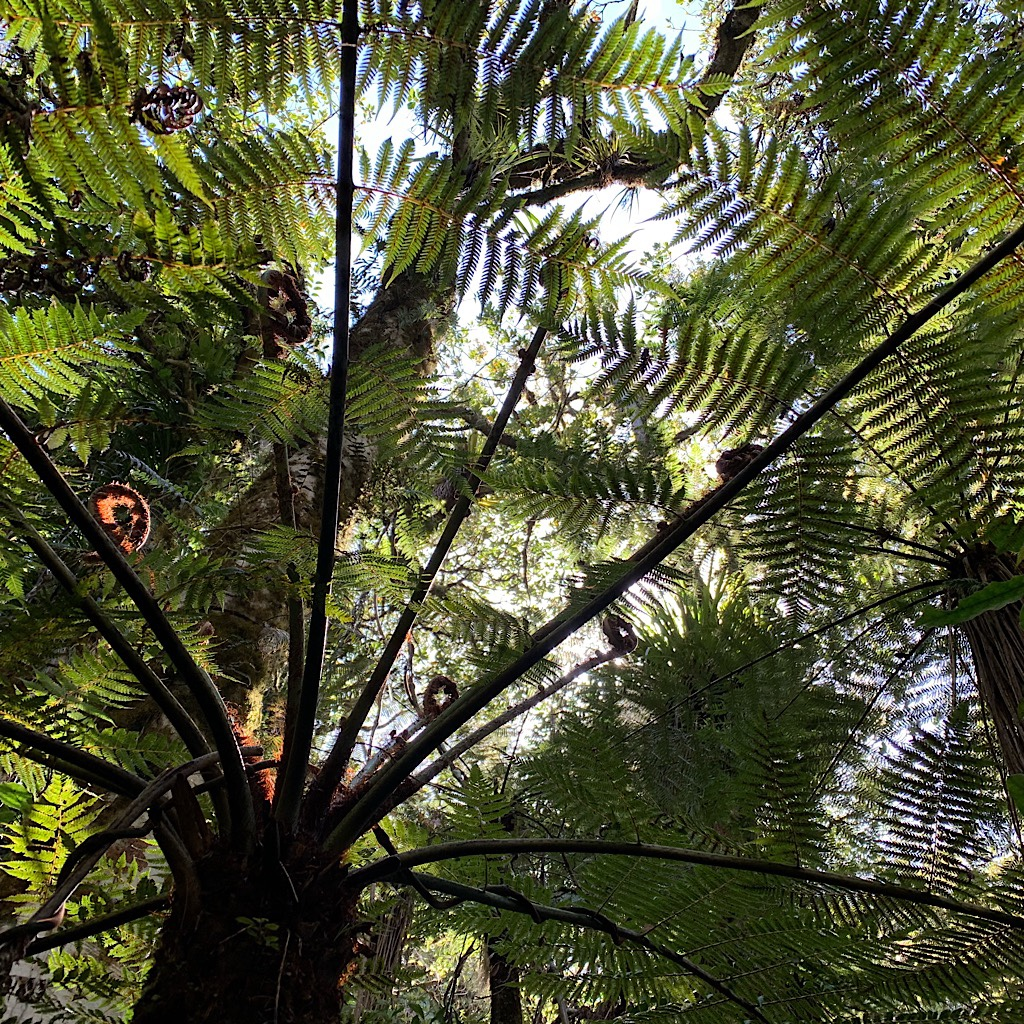 The tree fern canopy sheltered us from the hot sun.