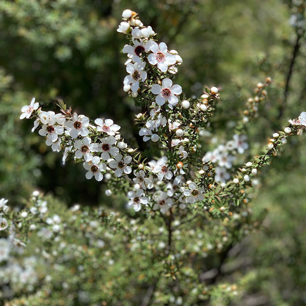 Manuka or Tee Tree is harvested for its medicinal properties.