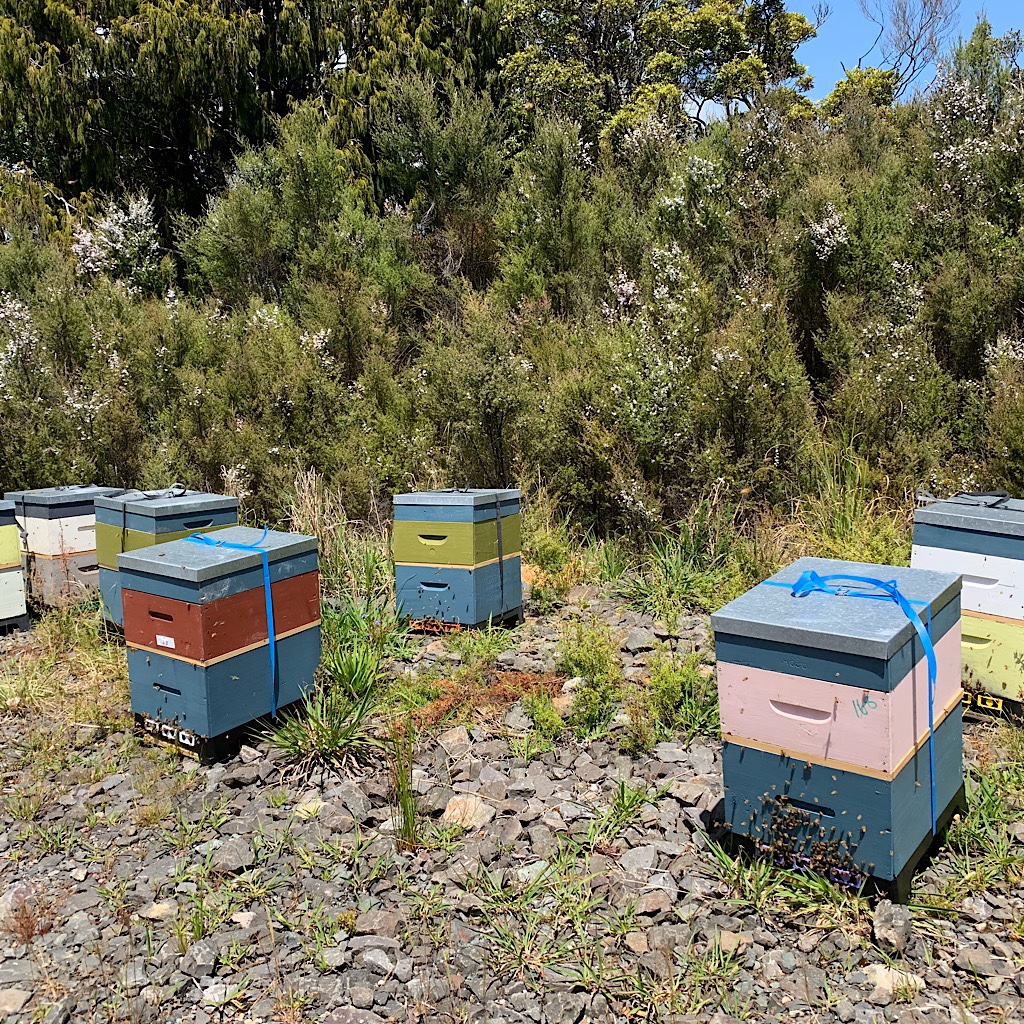 Bee hives placed close to the manuka for very special honey.