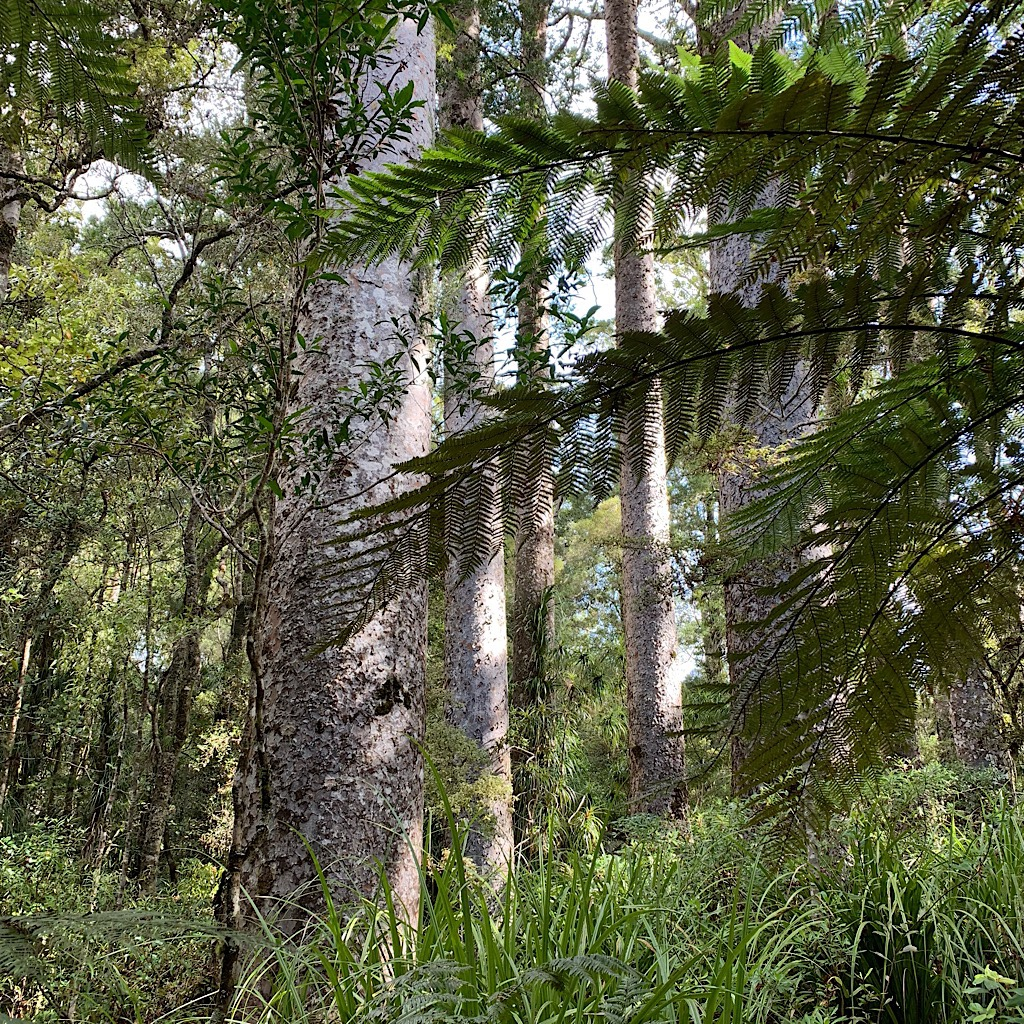 Ancient Kauri in the Manginangina rain forest.