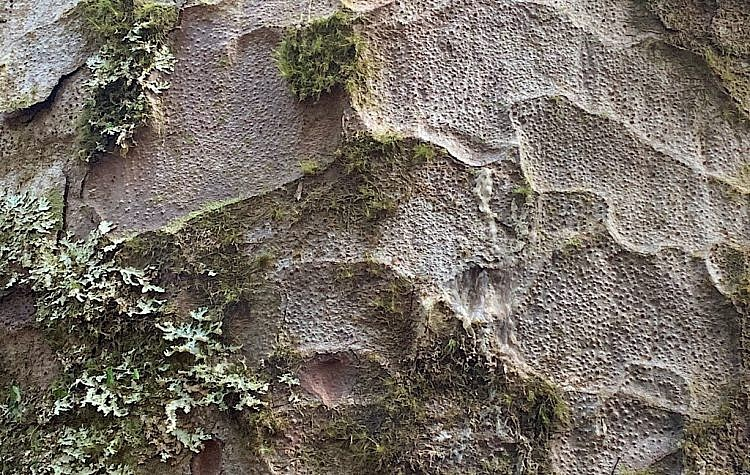 Kauri bark has a hammer-mark texture and continuously sheds its outer bark in large scales to prevent climbing or perching plants from gaining a permanent hold.