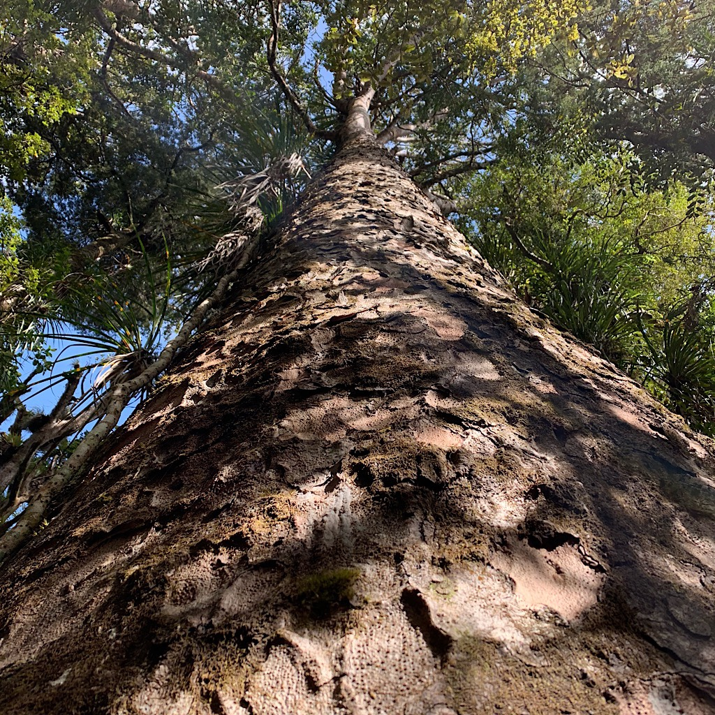 Rimu are taller, but Kauri rule the forest because of their bulk.