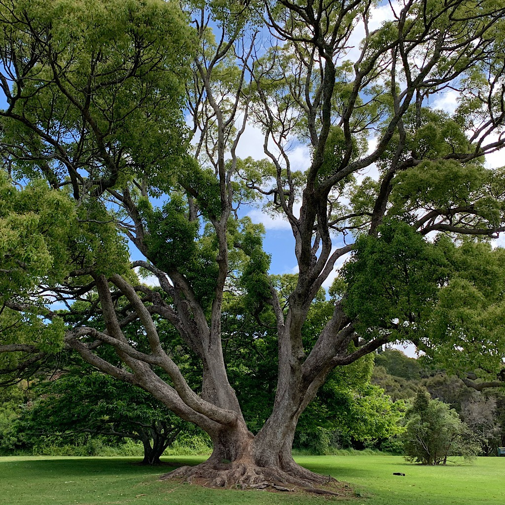 A massive Puriri tree on the grounds of the mission, a collection of the oldest European buildings in new Zealand.