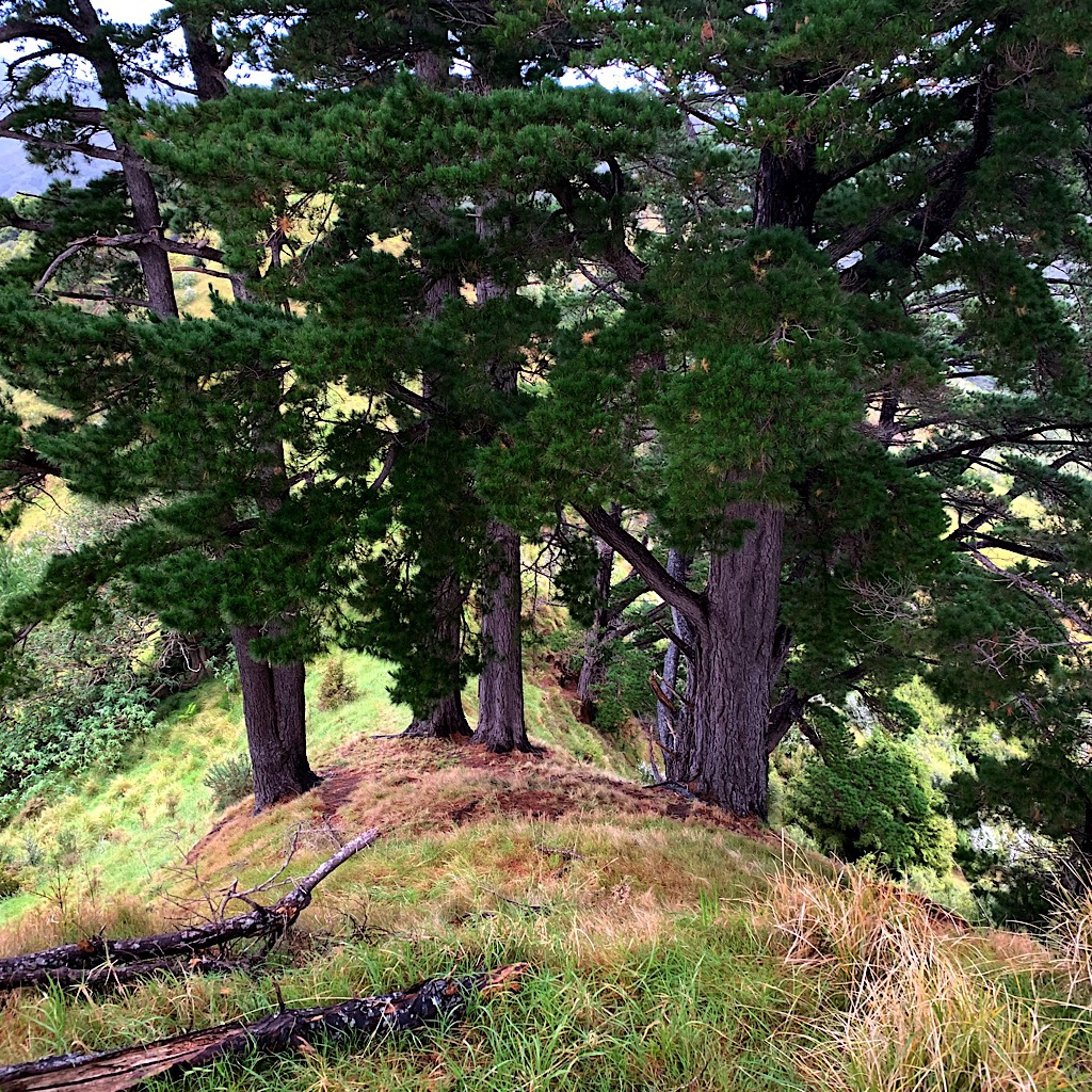 Monterrey Pines were imported to New Zealand and adapt well to the rain and fog.