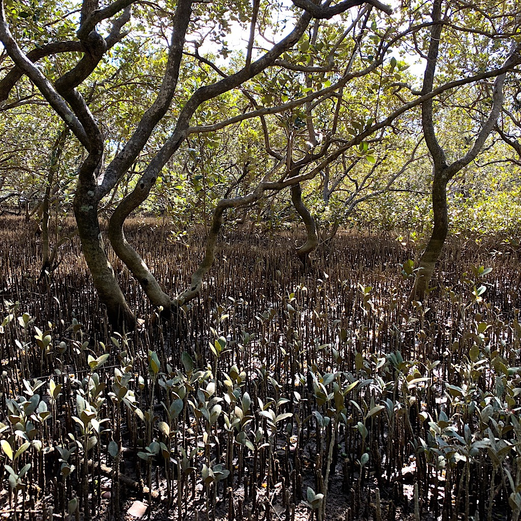 I pass a muddy mangrove swamp in brackish tidal water before reaching the beach again.
