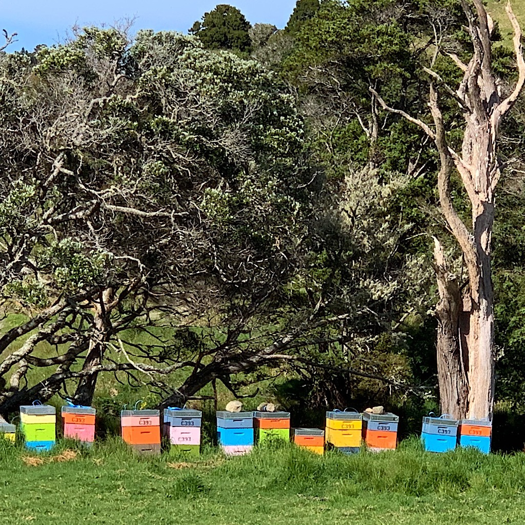 Colorful bee boxes placed strategically near Manuka which is considered the finest honey in Australasia.