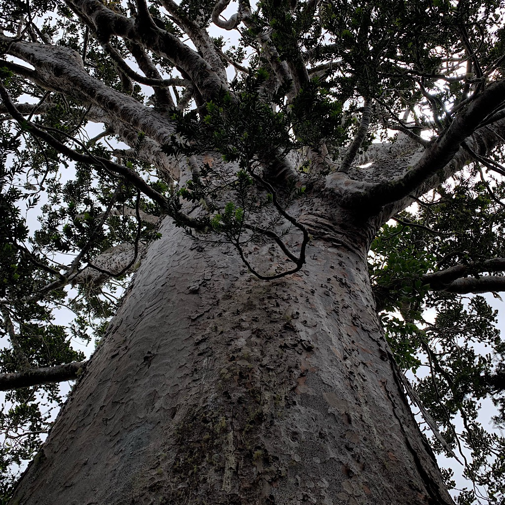 A fat kauri at Tane Moana is protected by boardwalks so I can get close.
