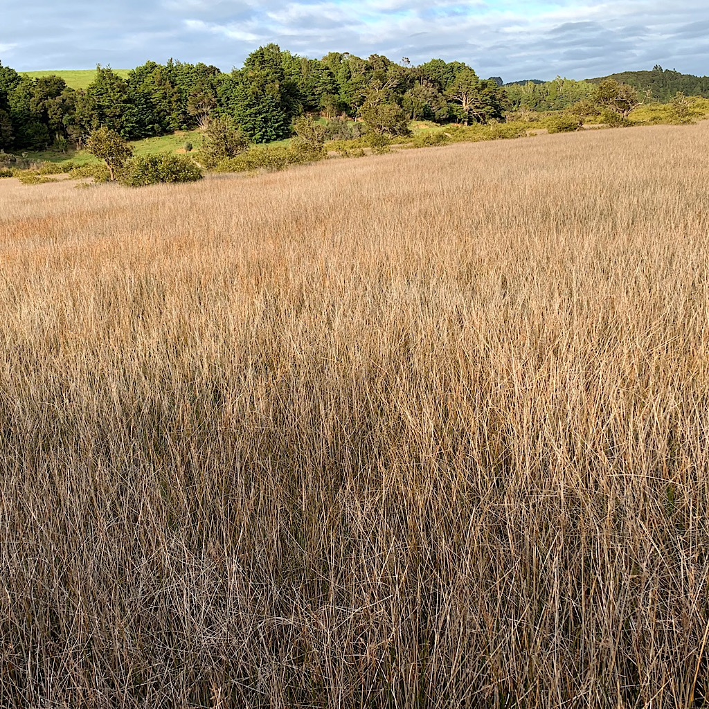 Salt marsh grasses.