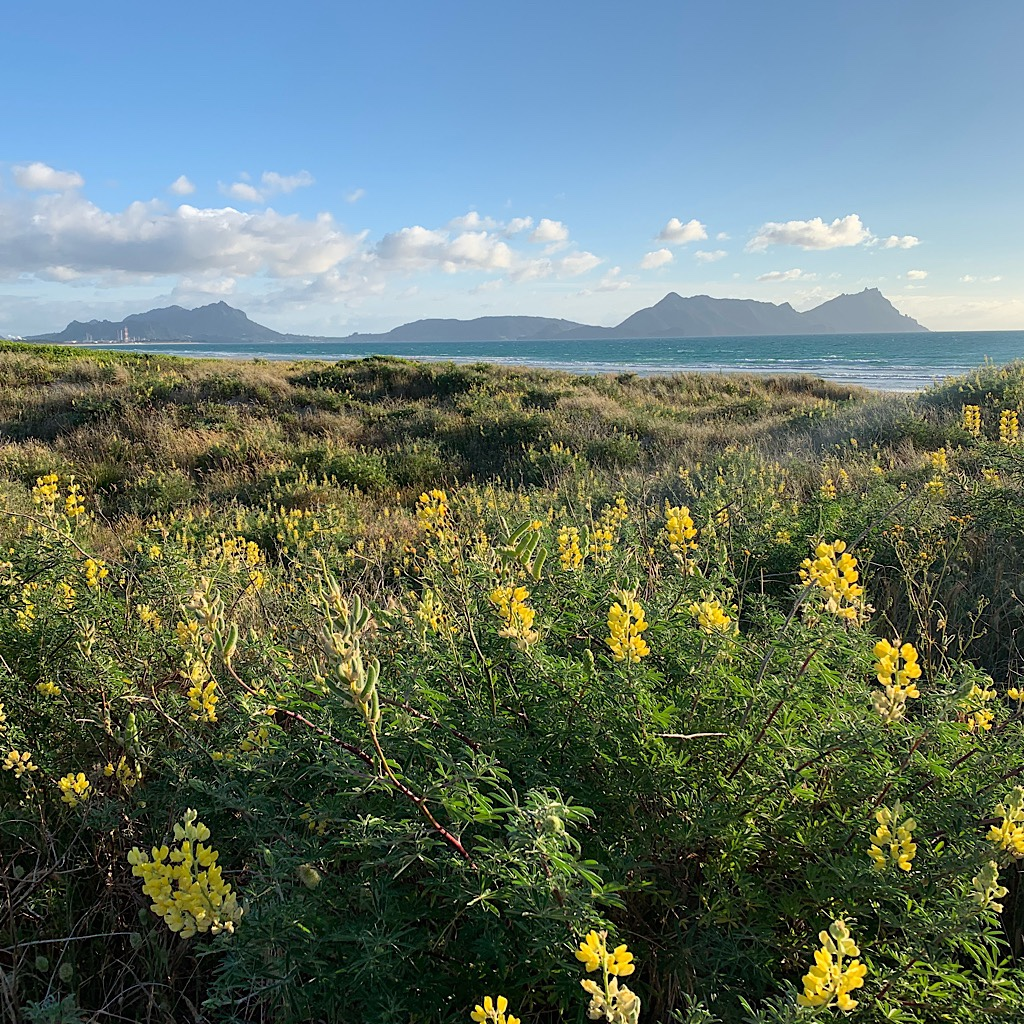 Yellow lupine frame the view back to the entire length of Bream Head with Mt. Lion reaching to the sky in the center.
