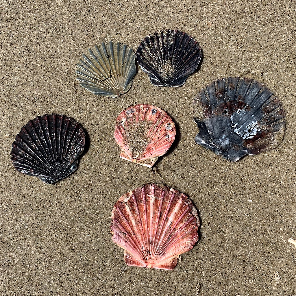 New Zealand scallop have asymmetric valves – a flat top and rounded bottom.