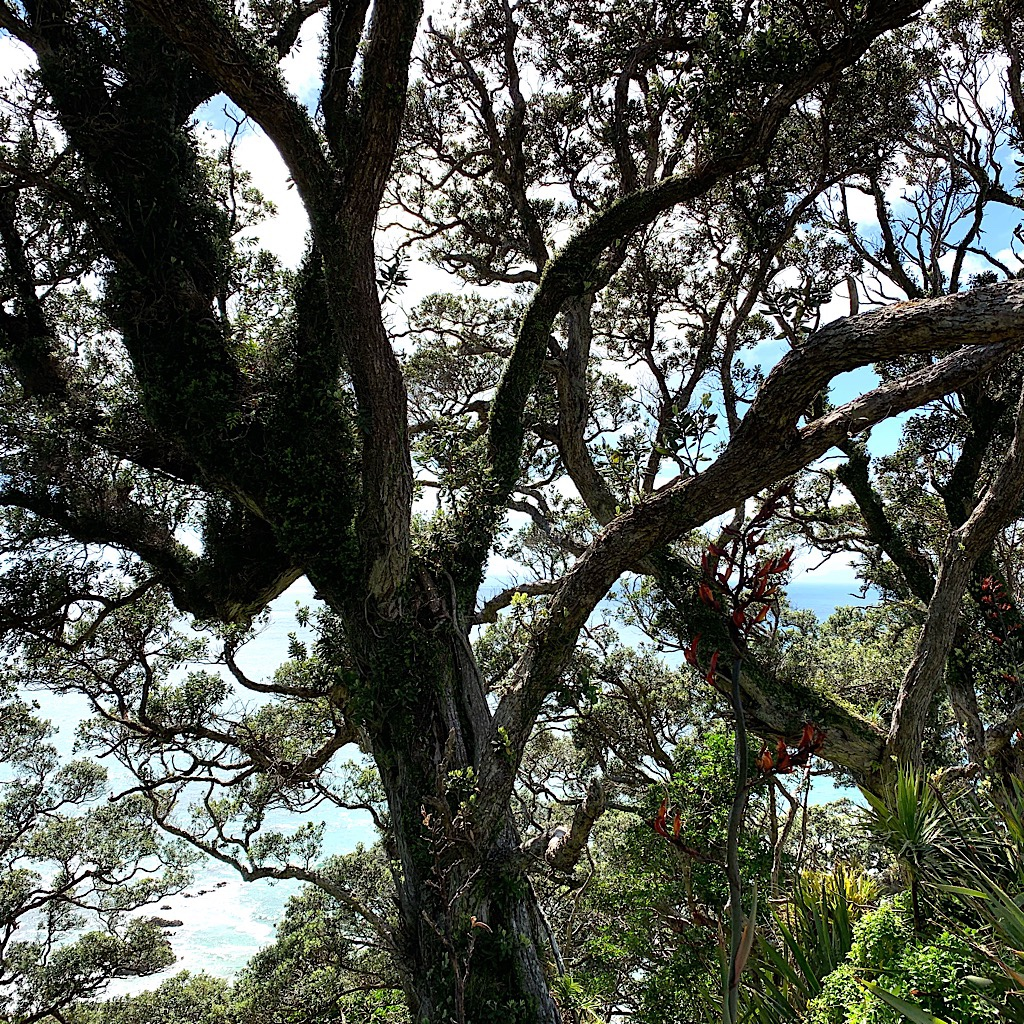 A pohutukawa tree on the Mangawhai Cliffs.