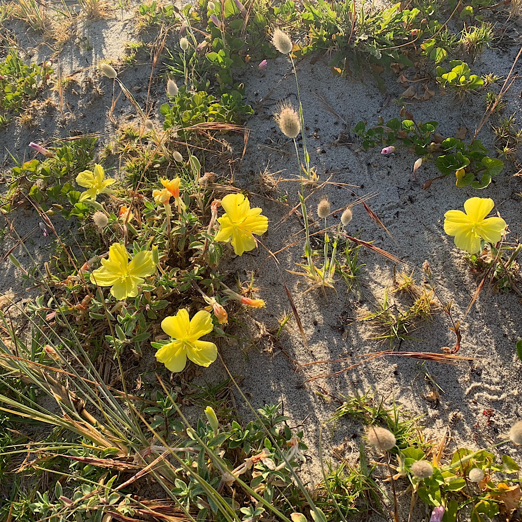 Beach evening primrose on the dunes above Pakiri beach.