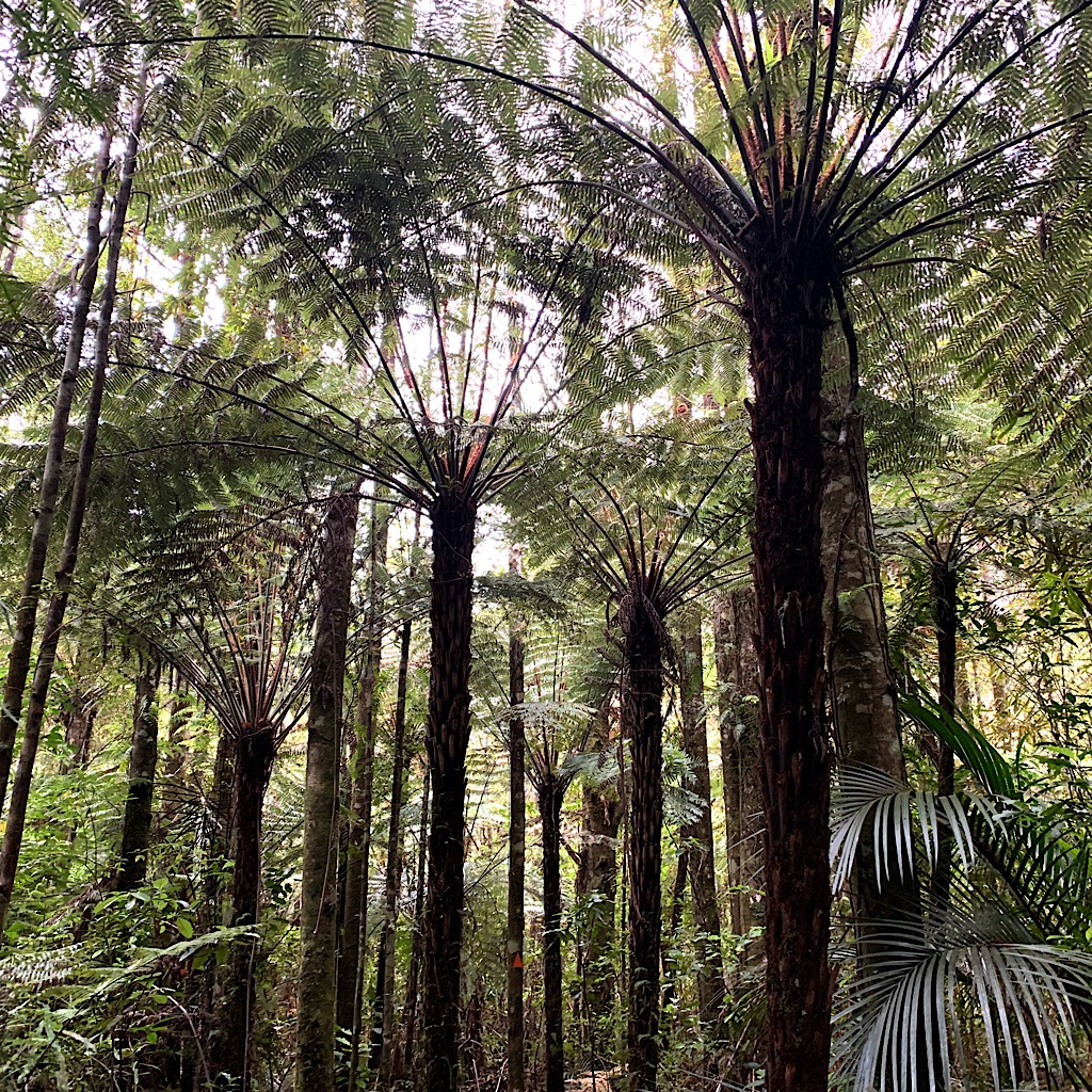 Spectacular tree ferns like giant umbrellas filter the sunlight.