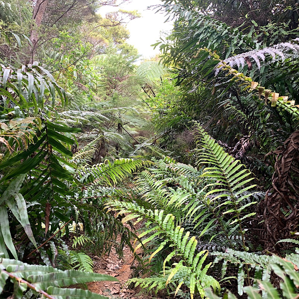 Ferns cover the path, but that's way better than scratchy invasive gorse.