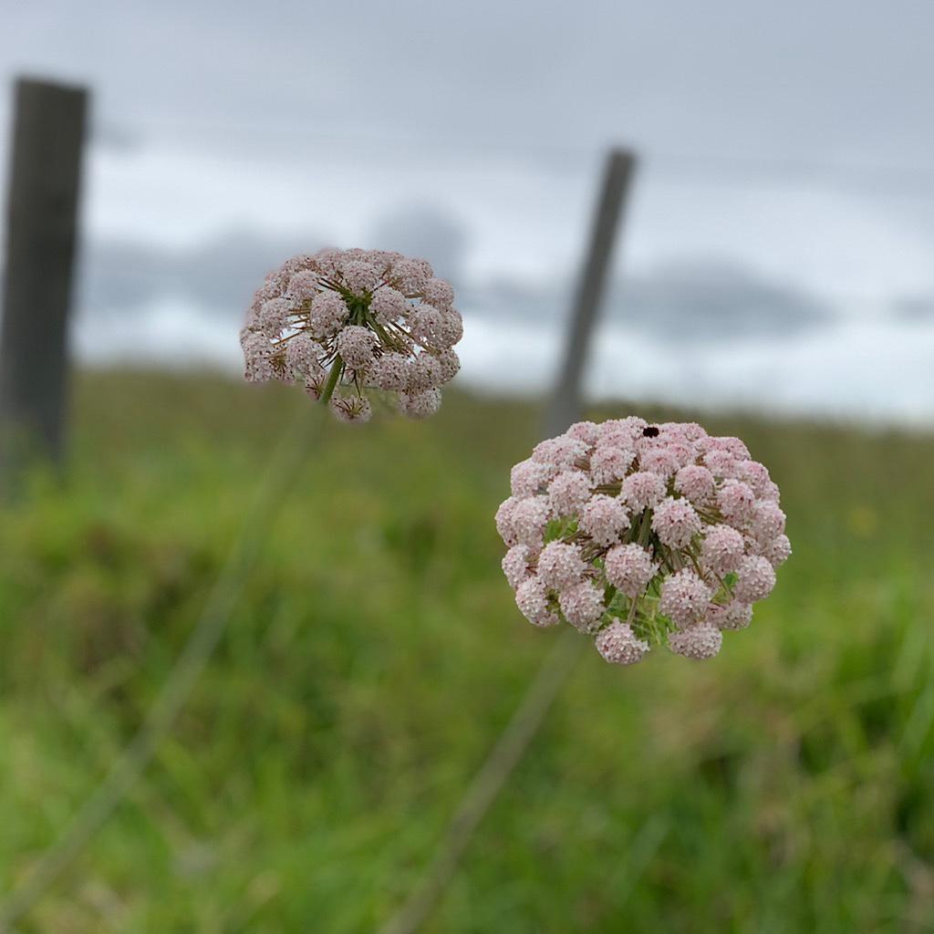 Flowers in Long Bay Regional Reserve.