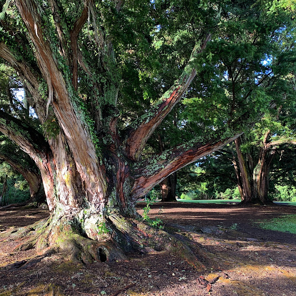Huge totara, a bit like cedar, in the botanical gardens.