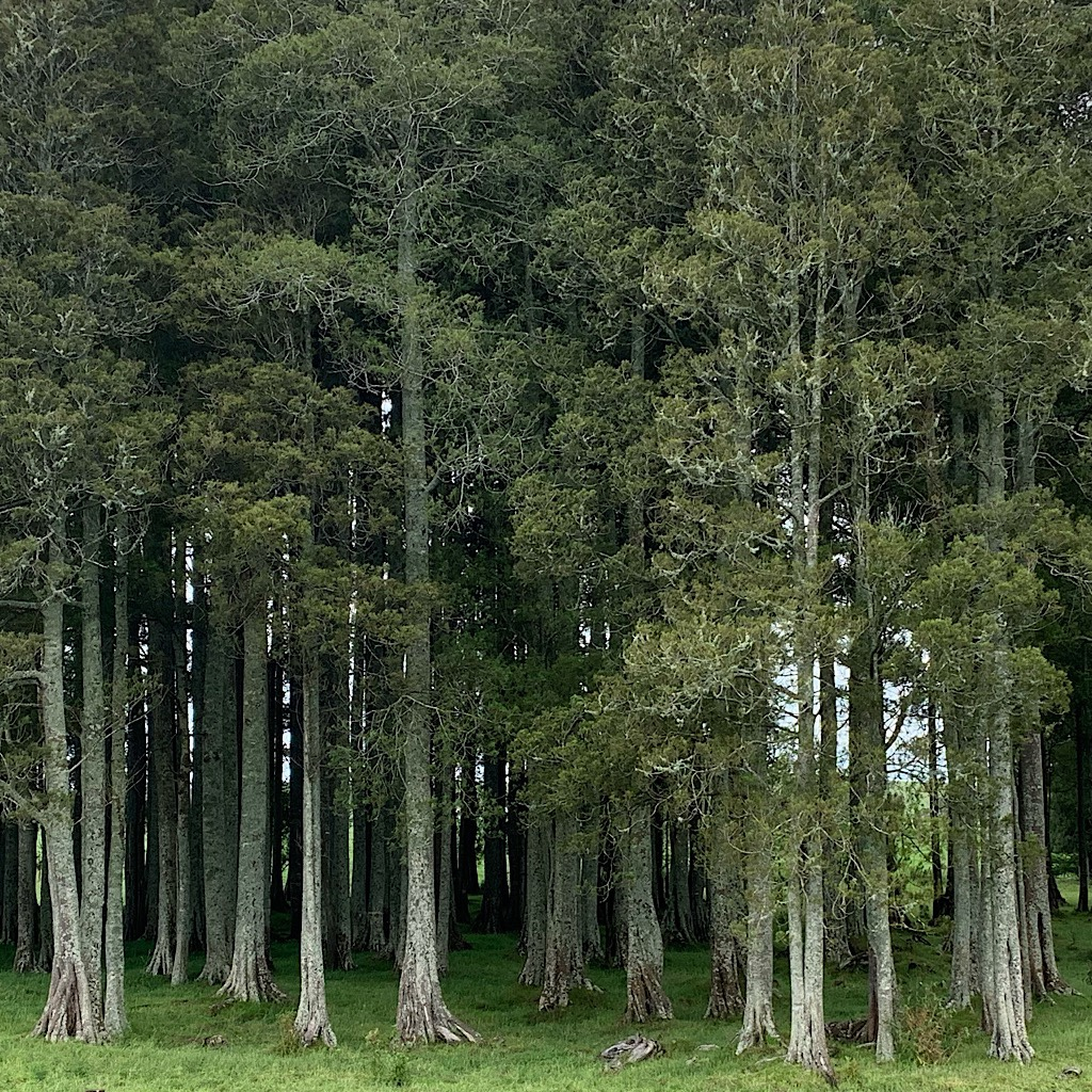 A plantation of totara, and endemic podocarp - or evergreen confier.