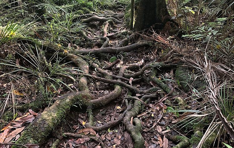 These roots were made for tripping.