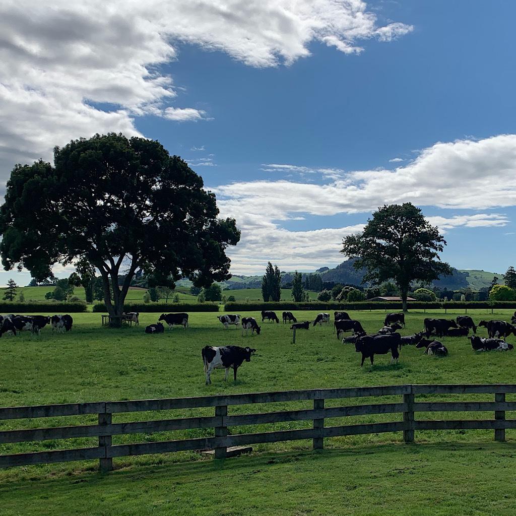 The cows actually came home.
