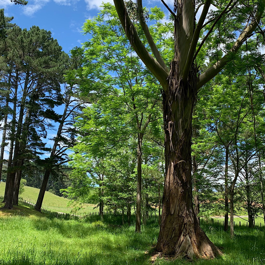 A totara in the stunning Taitua arboretum near Hamilton.