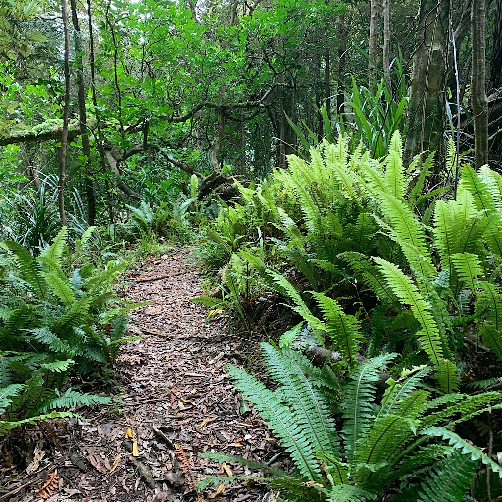 "The path begins as ""easy tramping"" through ferns and tawa."