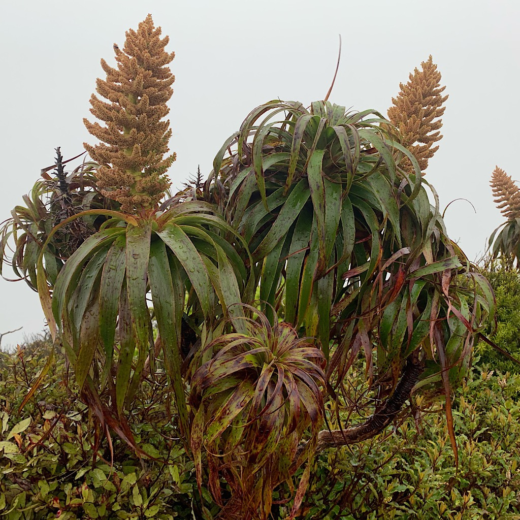 Alpine Ti Kouka or Mountain Cabbage Tree happy as can be on the stormy summit of Pirongia.