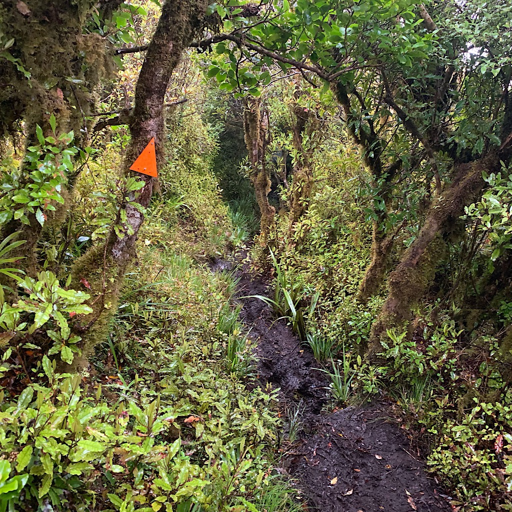 The bush is thick with moss-covered tawa leaving now room to avoid the mud-filled trail.
