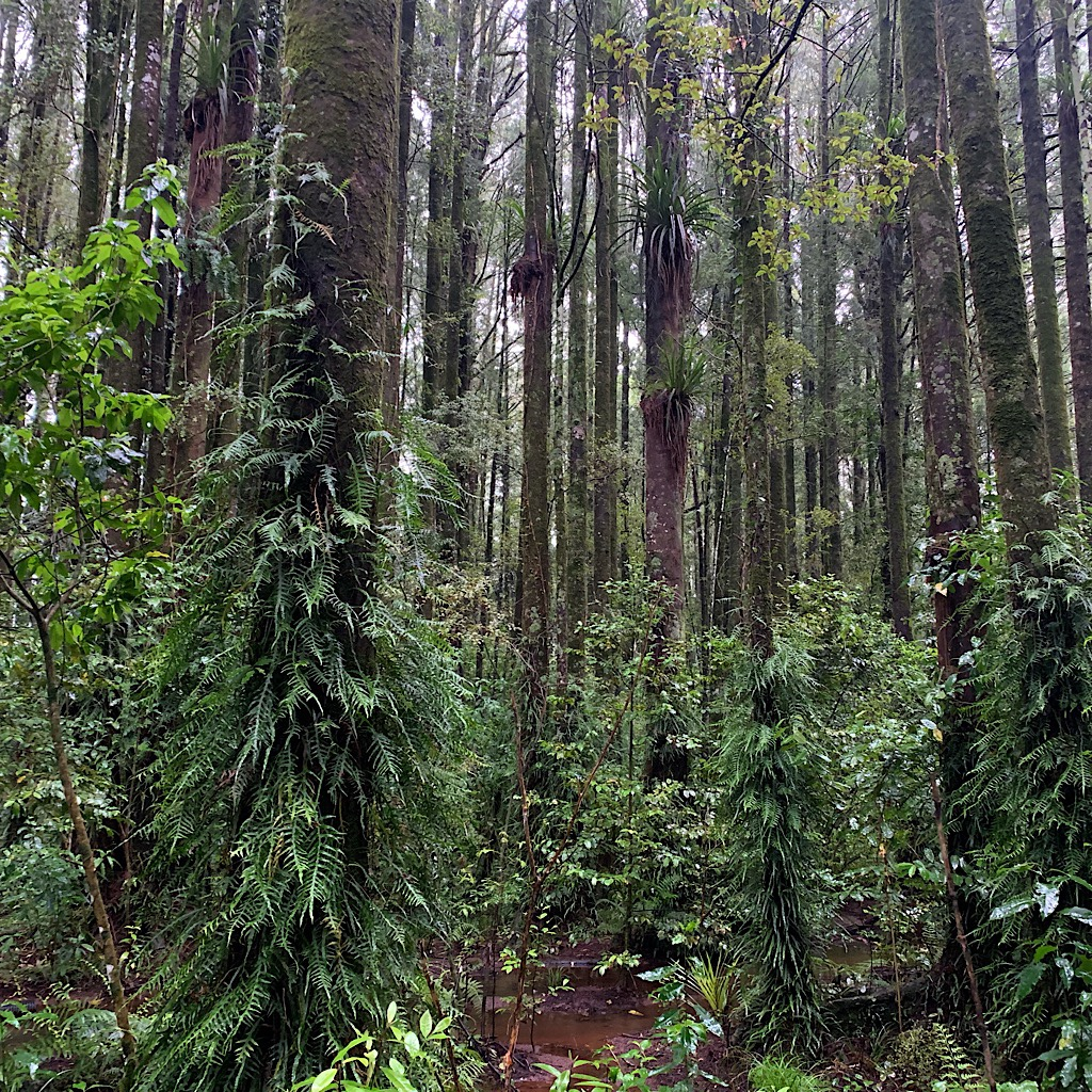 The entire mood changed in the cathedral of Pehitawa Forest with one of the finest remaining areas of Kahikatea trees.