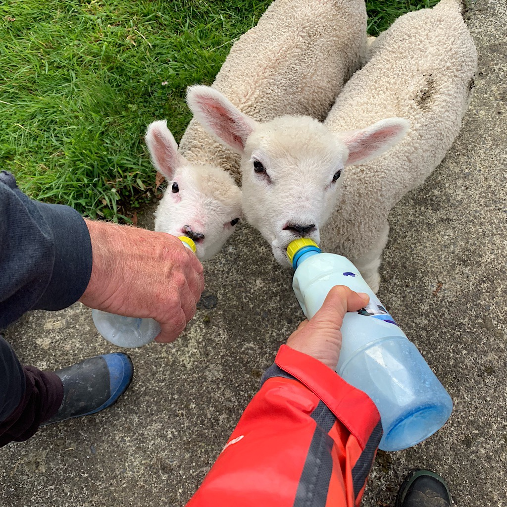 Feeding the eager lambs on the farm.