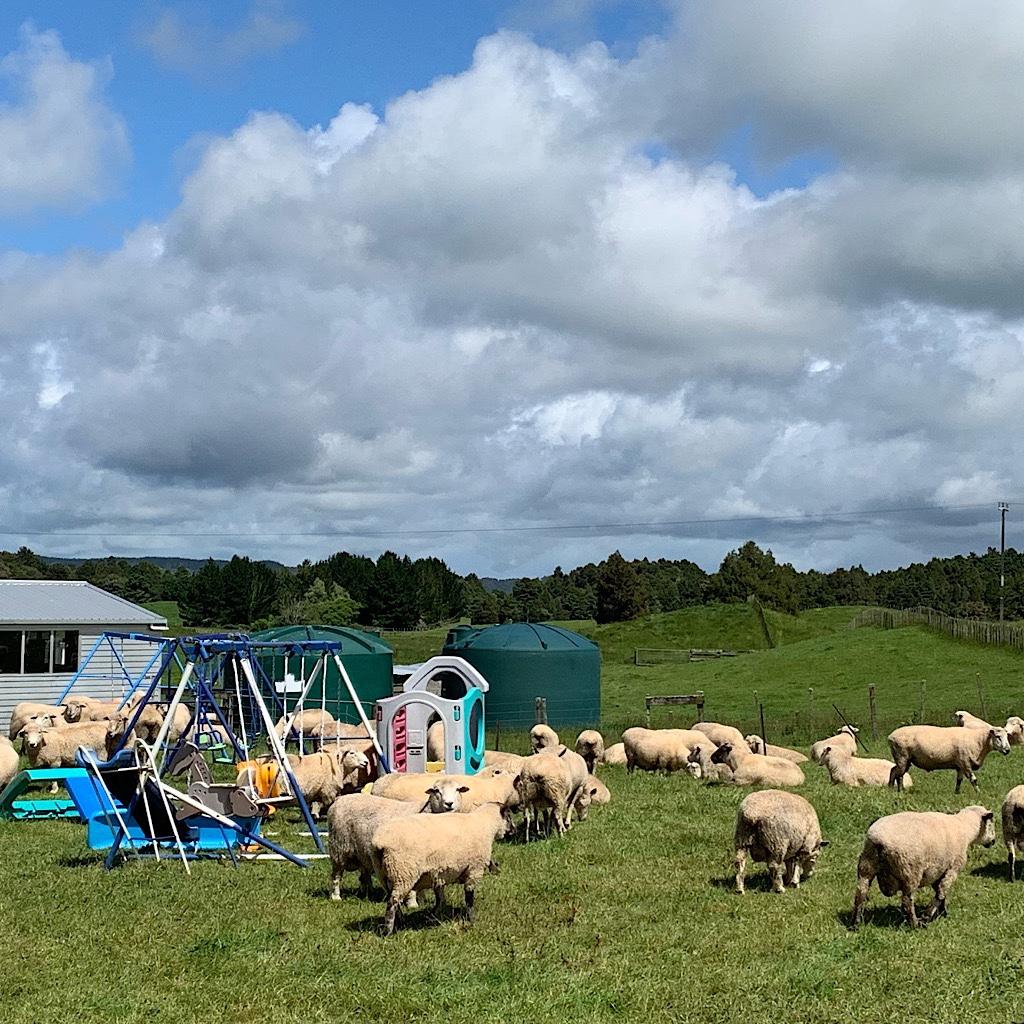 Sheep amidst backyard swing sets along the Mangaokewa Road.