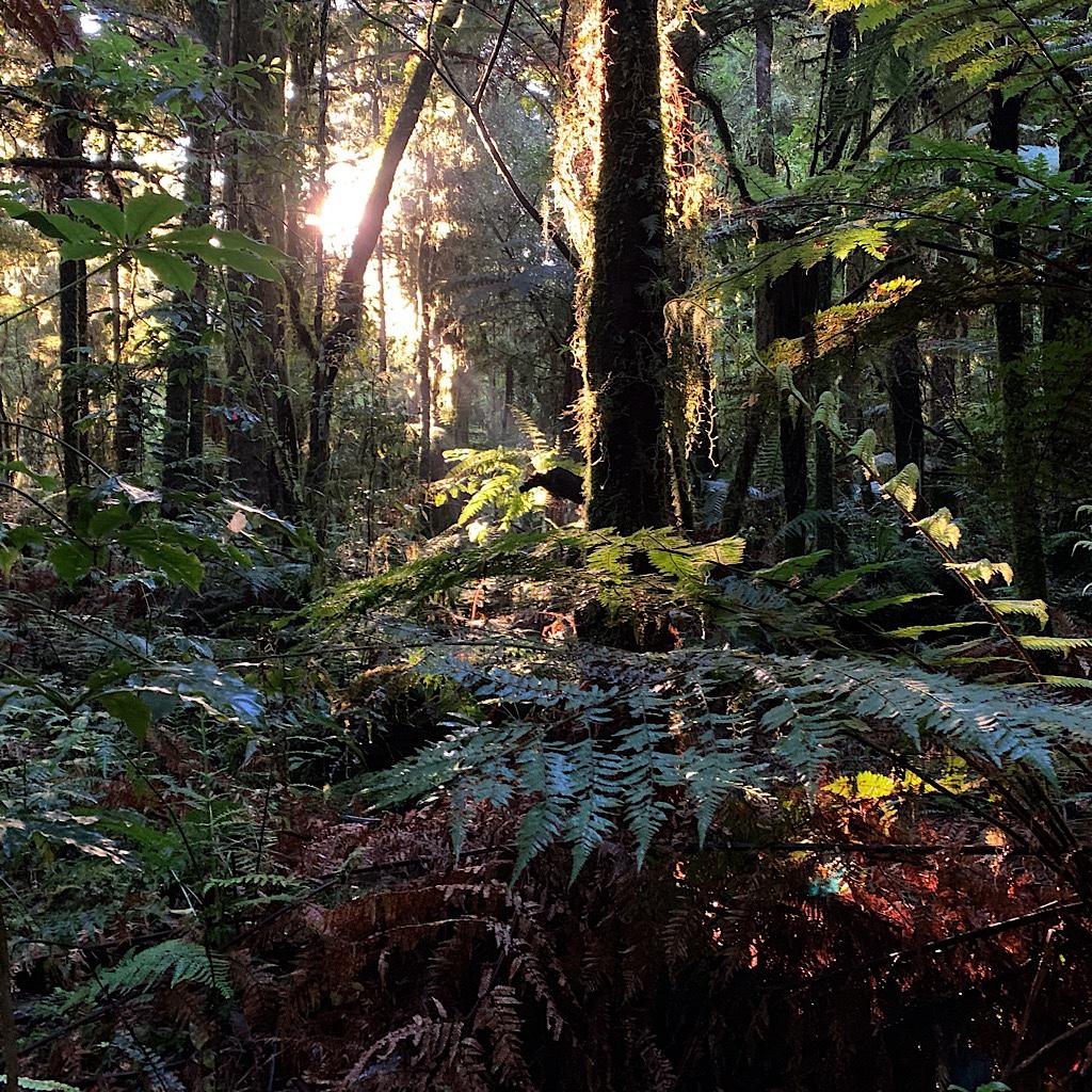 The sun's rays slant through the bush including rimu, tōtara, miro, mātai and kahikatea as well as tree and silver ferns.