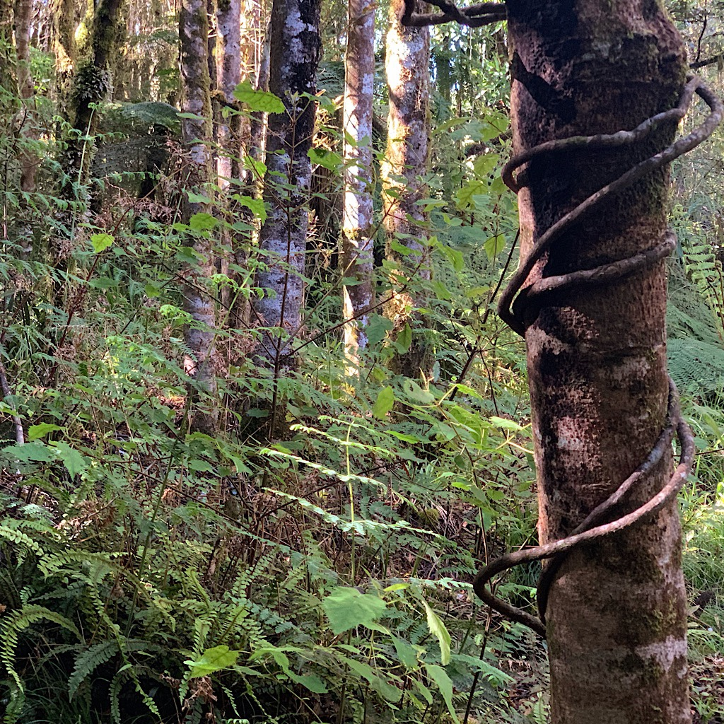 Supplejack winding up a rimu in the Pureora Forest.
