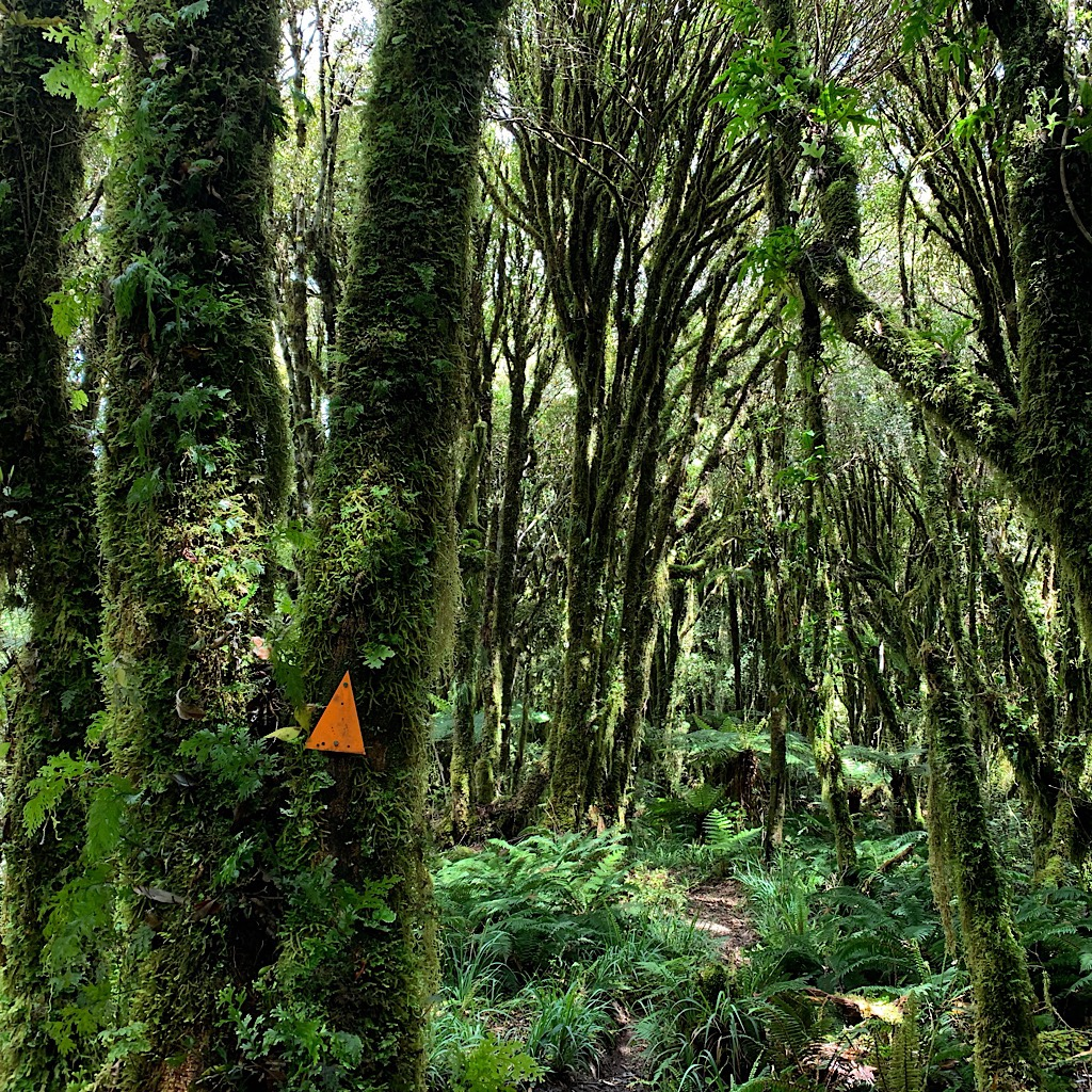 Pureora is one of the finest rain forests in the world.