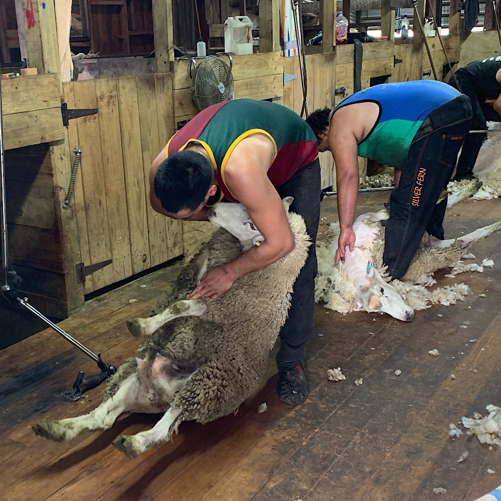 Sheering the sheep was always accompanied by loud, American rock from the 1980s.