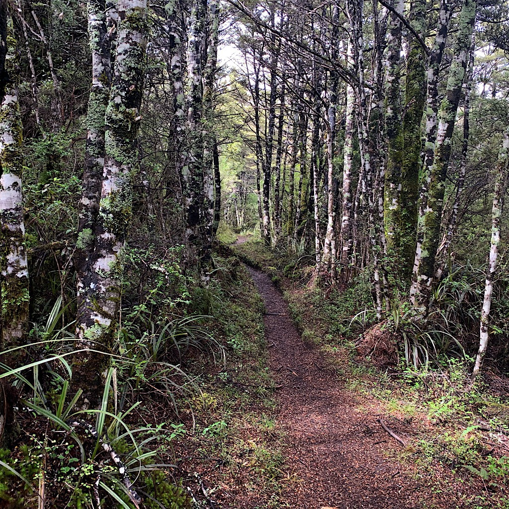 A manicured trail through a beech forest near Whakipapa.