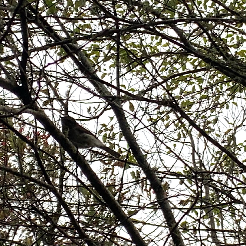"""A riroriro, or New Zealand warbler, flirts with me in a nearby tree while walking Mount Lees Reserve's """"bush walk."""""""