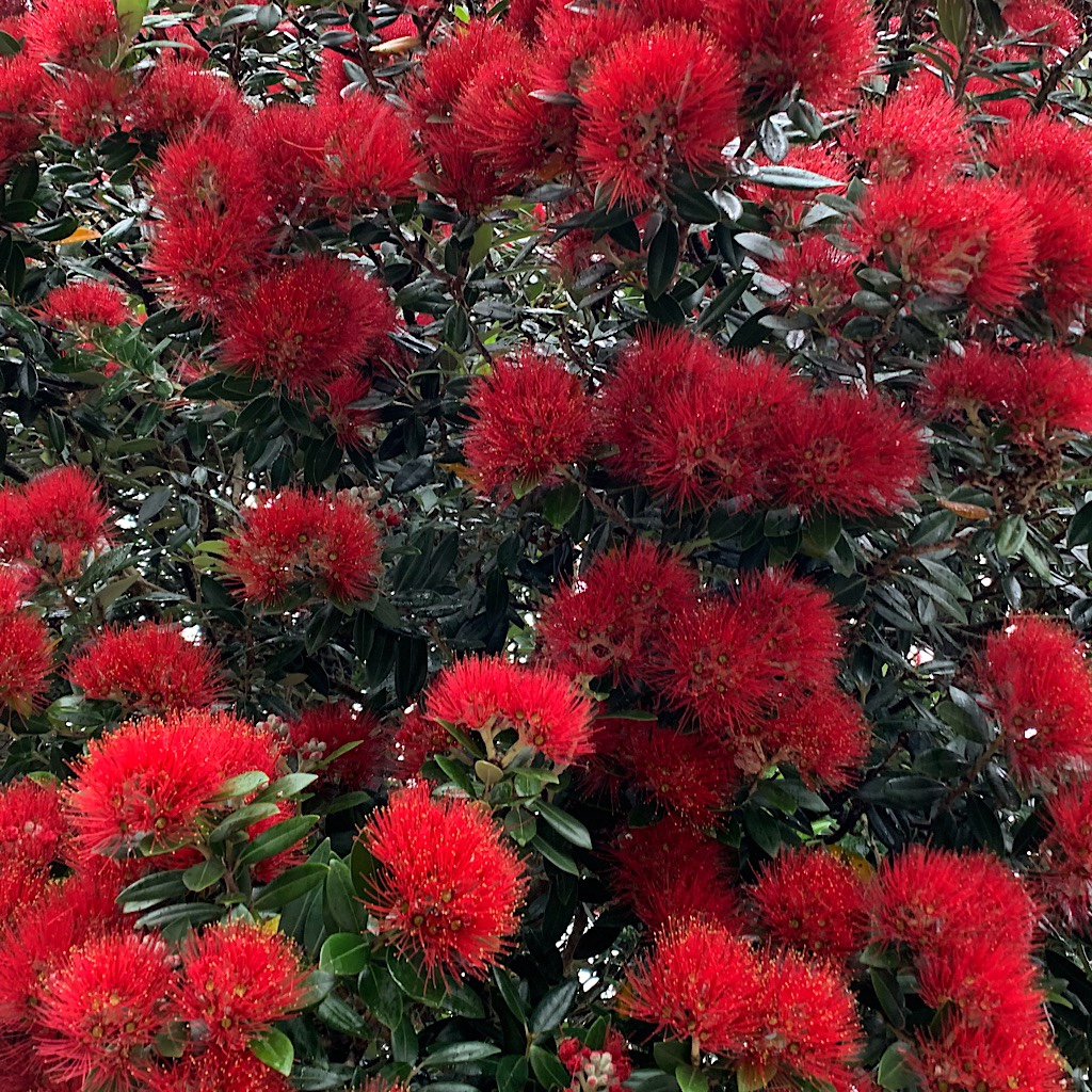 Brilliant red blossoms on the Pohutukawa or New Zealand Christmas tree.