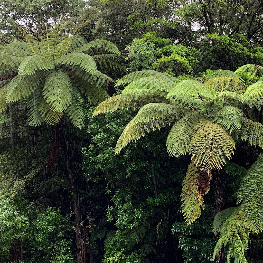 Tree ferns heavy with moisture.