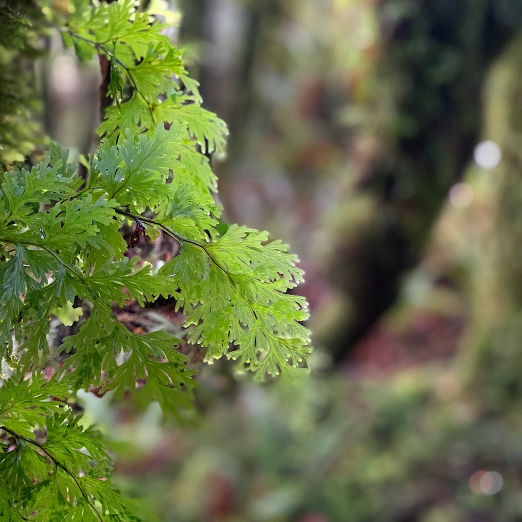 Delicate leaves and raindrops in the primevel forest near Blackwood Stream which Blissful crossed over 30 times.