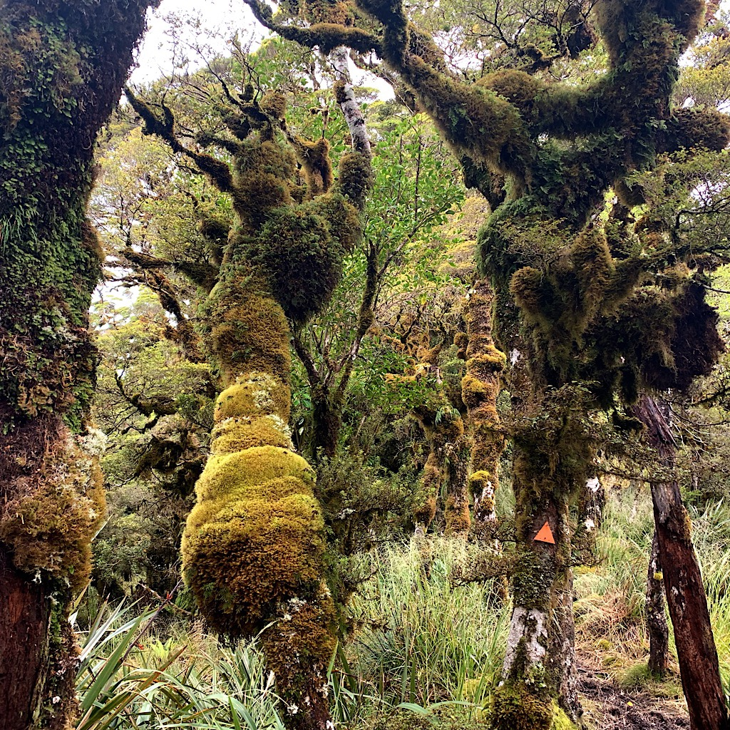 Stunted beech trees encased in moss make up the goblin forests of the Tararua, areas I would descend to as I crossed the long ridge to the hut.