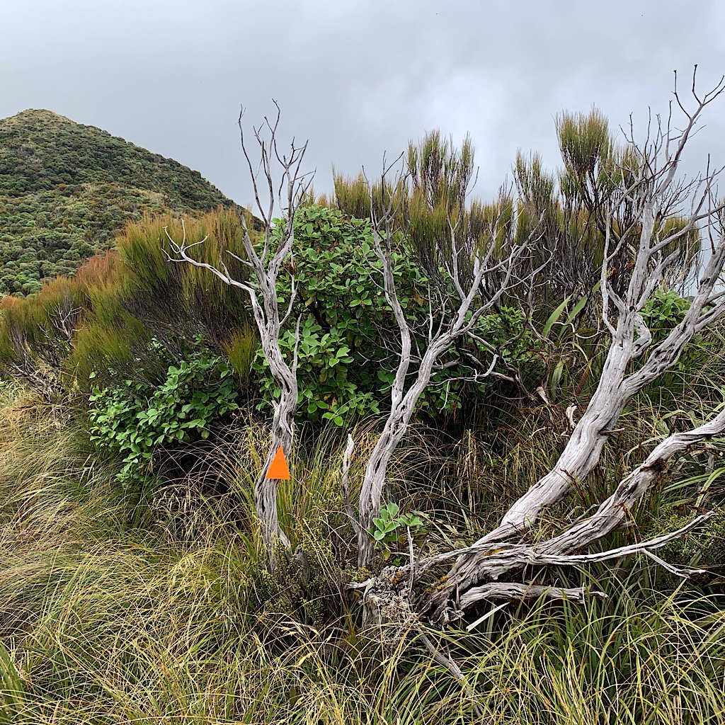 The trail to Pukematawai passes over Butchers Knob on a thin trail where humpy tussock obscures the muddy trail.