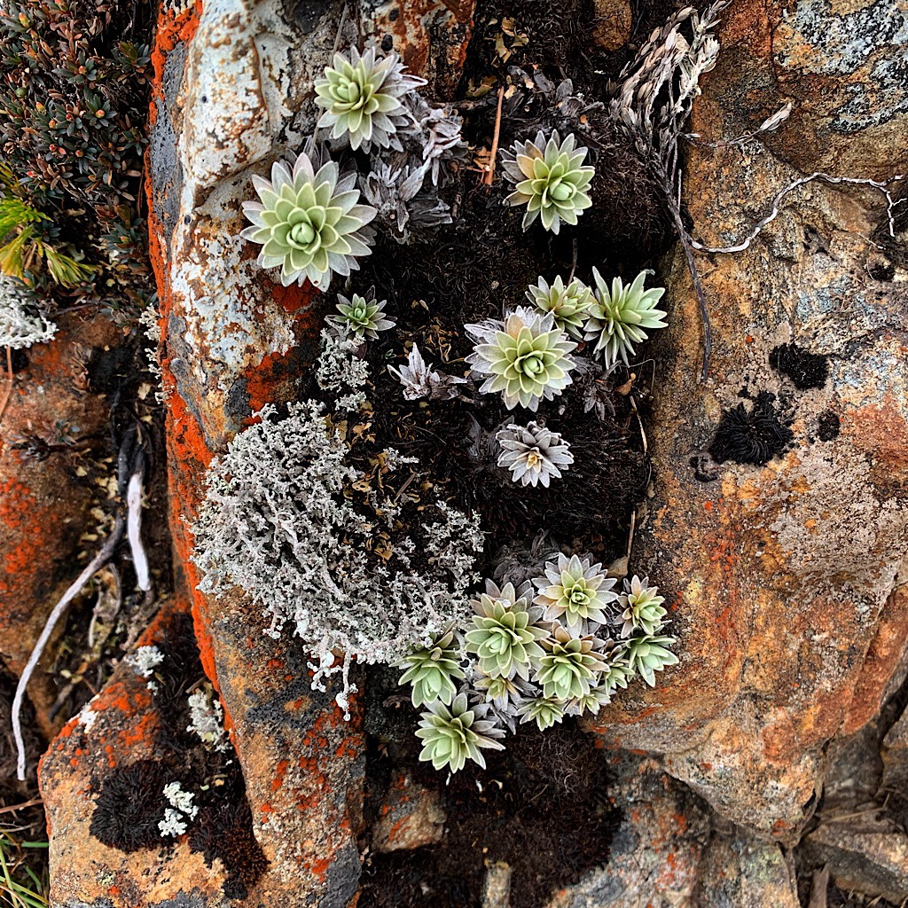 Opportunistic alpine plants of New Zealand resemble desert varieties with waxy leaves and tap roots that can push deep into rock fissures.