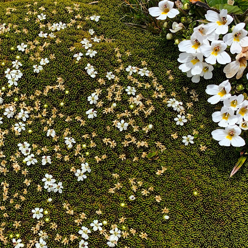 Alpine cushion plant grows tightly to the ground for protection, but sport thousands of tiny white flowers during the short summer.