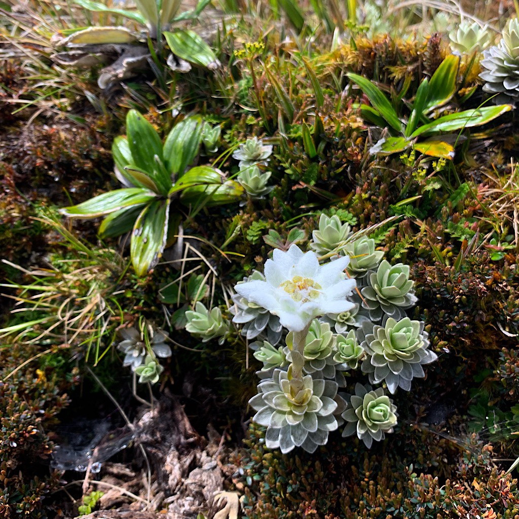 North Island Edelweiss surrounded our picnic area on the summit.