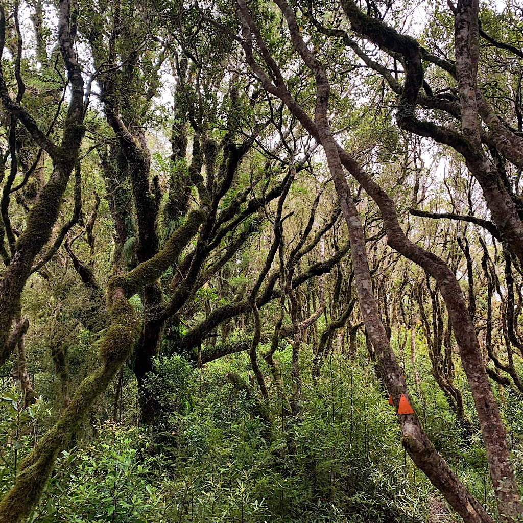 Gnarly, moss-covered beech trees in the goblin forest look like waving arms – spooks or protecters?