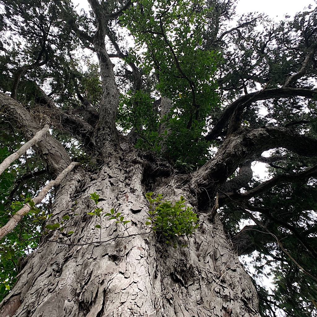 At 1,000 years old, this is thought to be the oldest Rimu tree in New Zealand.