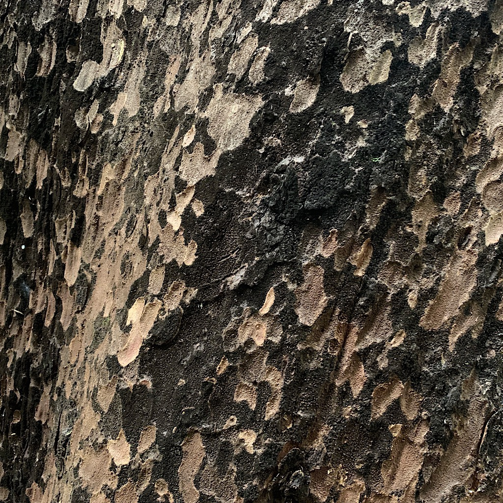 The gorgeous bark on a Black or Hard Beech. The fossil record shows these from the Cenozoic Era as far reaching as Antarctica.